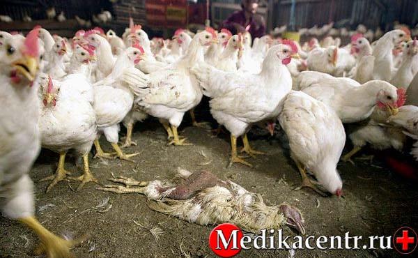 Симптомы птичьего гриппа
